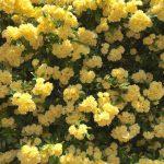 モッコウバラが咲き誇ってる